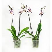 Orchidee Polka Dots White (per 2 stuks)