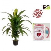 ES DRACHEANA GREEN LIVE PLANT With Gift Anniversary Gift Mug