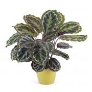 Interflora Planta de Calathea - Flores a Domicilio
