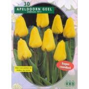 Tulp Tulipa Apeldoorn Geel, Darwin