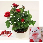ES RED ENGLISH ROSE LIVE PLANT WITH FREE COMBO GIFT - 6 inchTEDDYBEAR