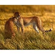 Fototapeta FTNXXL 0420 Leopardy, vliesová 360x270cm. gepardy