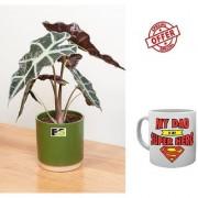 ES An Alocasia Plant HYBRIDE NATURAL LIVE With Freebies Mug
