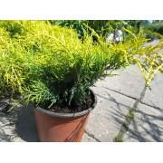 Armstrong Gold kínai boróka / Juniperus chinensis 'Armstrong Gold'