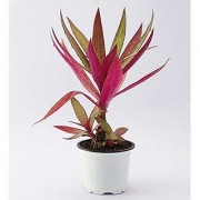 Rhoeo SpathaceaTricolor Indoor Outdoor Live Fresh Plant with Pot for Office and Home