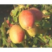Măr Kandil Sinap