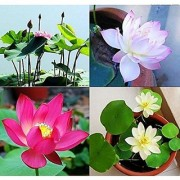 Aquatic Flower Seeds : Indian Lotus Pink Flower Nelumbo Nucifera Kamal/Sacred Water Lily Flower Seeds Growing 15 Seeds- Plant Seeds For Grow Bags/Pots (19 Packets) Garden Plant Seeds By Creative Farmer