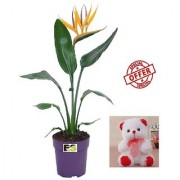 ES BIRD OF PERADISE LIVE PLANT WITH FREE COMBO GIFT - 6 inchTEDDYBEAR