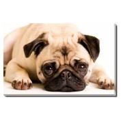 Tablou Canvas Cute Pug