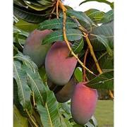 Live Sundari Mango- Grafted Plant-Sweet Fruit Plant - 1 Healthy 1ft+ Height Fruit Plant