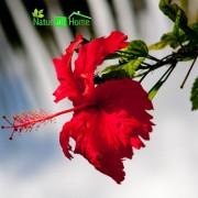 Ulei de Parfum Hibiscus 100% 10 ml