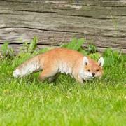 HotAnt Jagende vos