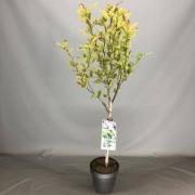 Plantenwinkel.nl Magnolia struik Loeberni Leonard Messel op stam - 3 stuks