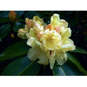 Rhododendron Rhododendron 'Horizon Monarch'