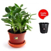 Jade Plant Natural Live With Freebie