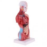Phenovo Educative Human Torso Viscera 28cm Skeleton Body Heart Brain Set Model Lab Ornament Learning Resources