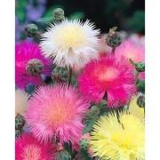 Futaba Colorful Cornflower Flower Seeds - 50 Pcs