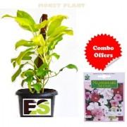 ES MONEY PLANT FREE COMBO FREEBIE with Indica Hybrid Seeds