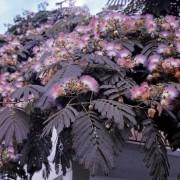 Bordólevelű selyemakác / Albizia julibrissin 'Summer Chocolate' - 200-250
