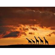 JP London Jplo9 # PMUR1X780012 Jpl and Muriel Vekemans Present Five Giraffes African Safari Giraffe Dusk Plain 4 Ft by 3 Ft Peel and Stick Fully Removable Wall Mural