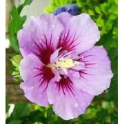 """Hibiscus Syriacus """"Ardens"""" (40 cm)"""