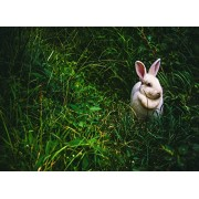 Fkg Adult Jigsaw Puzzle Cute White Rabbit Wild Outdoor 500-Pieces