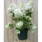 Pluim Hortensia Hydrangea Wit