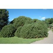 Havasi törpefenyő / Pinus mugo var. mughus - 30-40