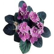 Futaba Saintpaulia Ionantha Seeds - Light Pink - 100 Pcs