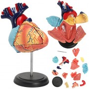 4D Anatomical Human Heart Structural Models Anatomy Medical Teaching School