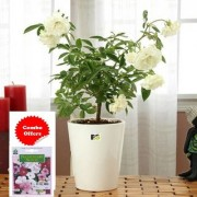 ES Hybrid White Rose Plant with Combo Freebie with Indica Hybrid Seeds