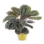 Interflora Planta de Calathea Interflora