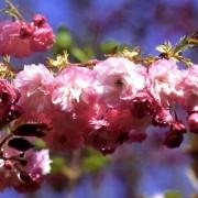 Pink Perfection japán díszcseresznye / Prunus serrulata 'Pink Perfection' - 250-300