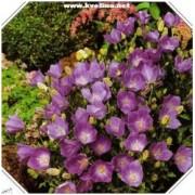 Campanula carpatica 'Turbinata' - Zvonek karpatský