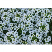 Flower Seeds : Alyssum Wonderland White Pot Suitable (20 Packets) Garden Plant Seeds By Creative Farmer