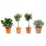 Mediterrane planten Mix