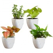 ES MONEY PLANT COMBO OF 4 LIVE PLANT