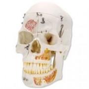 modello teschio cranio umano in dimensioni reale anche per odontoiatri