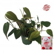 HYBPRID MONEY PLANT BANGLORY BRIDE LIVE PLANT WITH FREE COMBO GIFT - 6 inchTEDDYBEAR