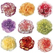 Carnation Mixed Colour Premium Exotic Seeds