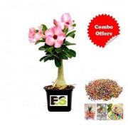 Adenium Plant Pink Daal with freebie