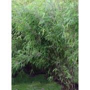 Niet woekerende bamboe Fargesia nitida 'Great Wall'