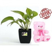 ES GREEN LIVE MONEY PLANT WITH FREE COMBO GIFT - 6 TEDDYBEAR-PINK