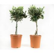 Olijfboompje bonsai (2 stuks)