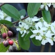 Krentenboom Amelanchier canadensis