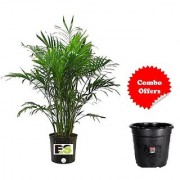 Arica Palm Green Live Plant With Freebie