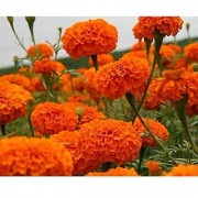 Flower Seeds : Marigold-Hawaii Orange Flower Seed Growing Easy To Grow Flower (6 Packets) Garden Plant Seeds By Creative Farmer