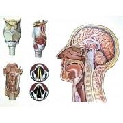 Capul si laringele
