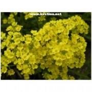 Alyssum saxatile 'Golden queen' - Tařice skalní