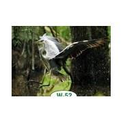 Czapla siwa - widokówka